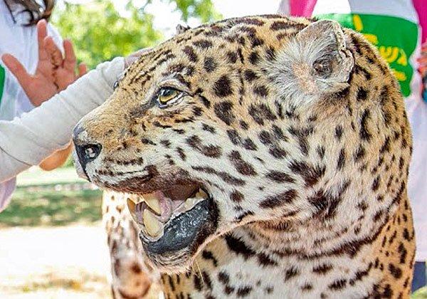 פוחלץ של נמר בפינת הפוחלצים, שאורגנה בספארי במיוחד לכבוד אורחי האירוע
